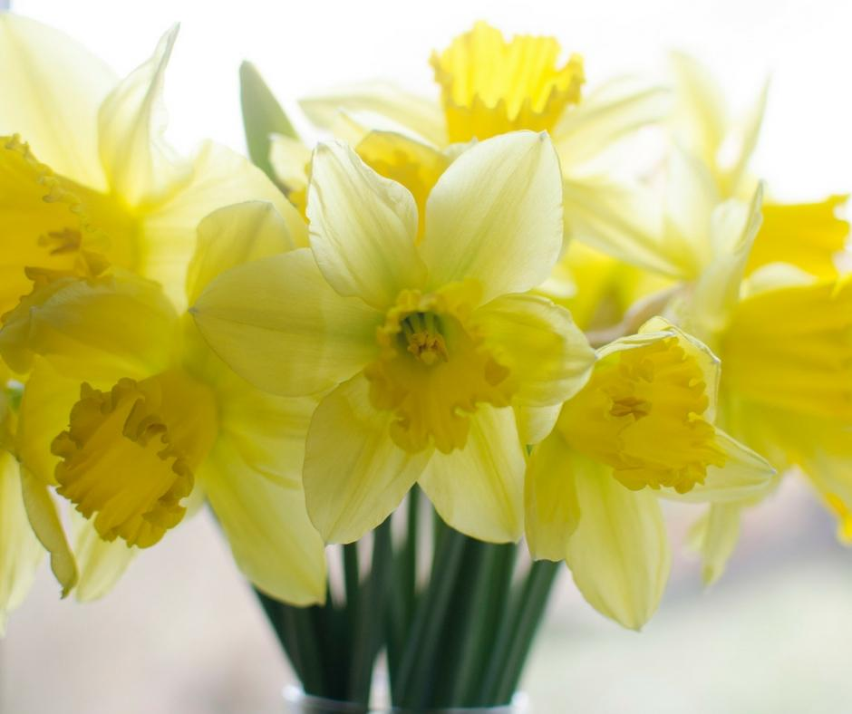 daffodils-hidden-flower-meanings