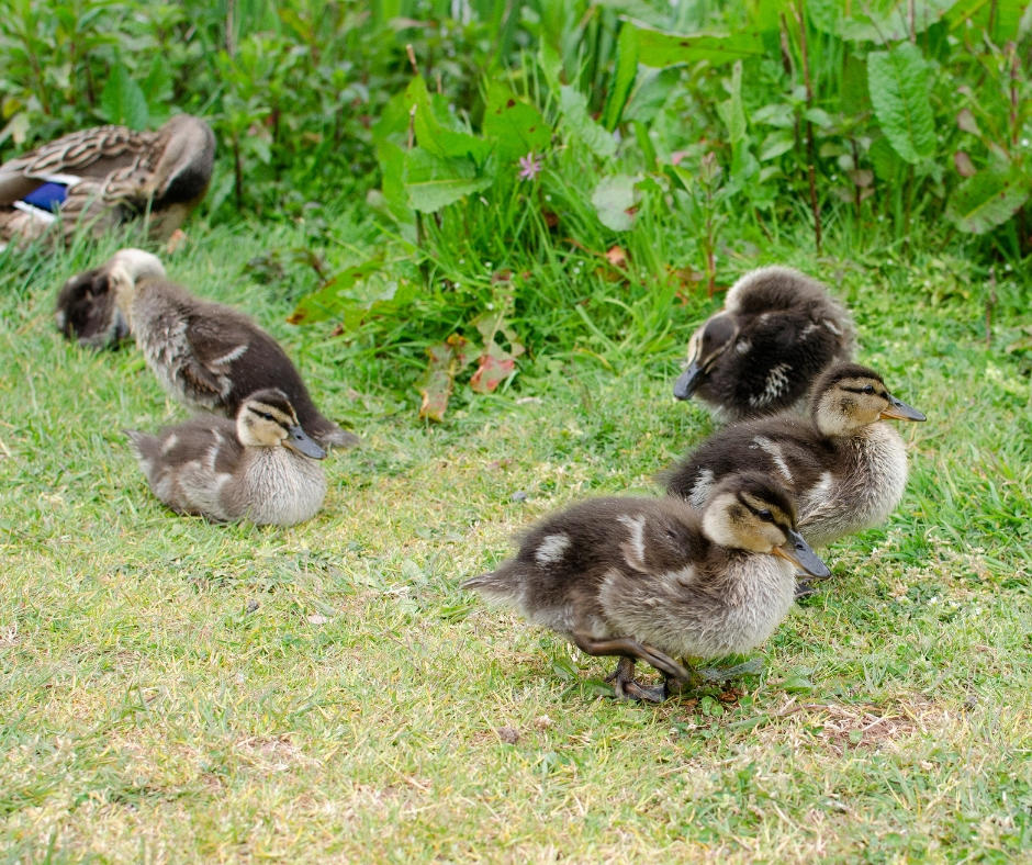 Ducks Bluestone lake