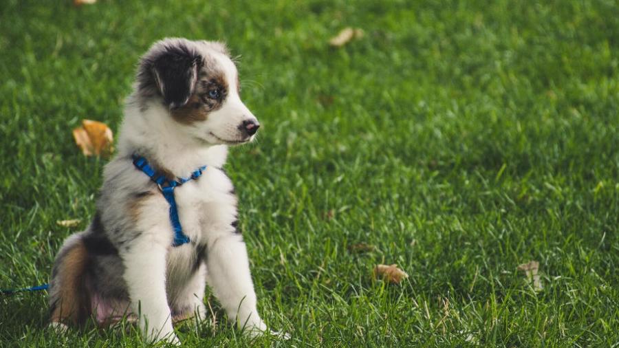 Buying vs adopting a family dog